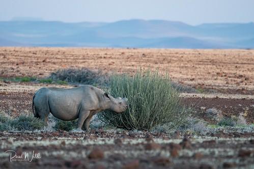 Hook-lipped Rhino in the Desert