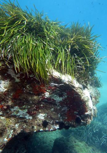 Herbier de Posidonies en bonne santé (Posidonia oceanica)