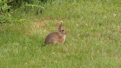 The Front Yard Bunny