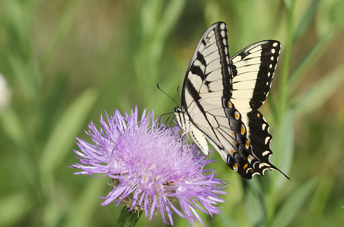 Eastern Tiger Swallowtail, Papilio glaucus, male nectaring on American Star-thistle, Plectocephalus americanus