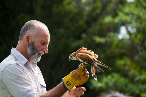 Bird Handler Feeding a Nankeen Kestrel