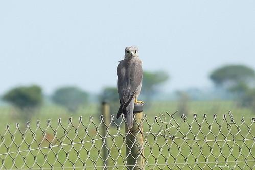 1.10374 Faucon ardoisé / Falco ardosiaceus / Gray Kestrel