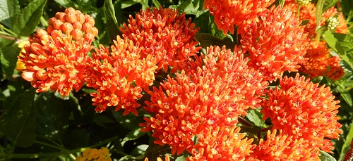 butterfly weed, Asclepias tuberosa, flowering heads