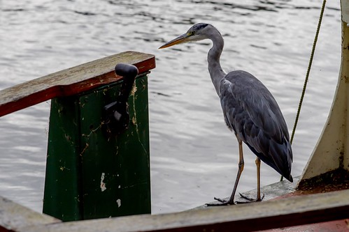 Grey heron on a barge in Cambridge, UK