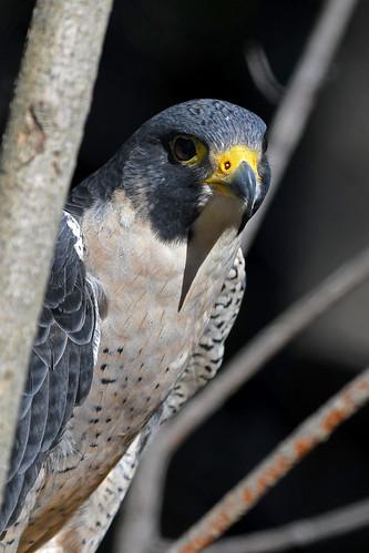 Peregrine Falcon (Elmwood Park Zoo)