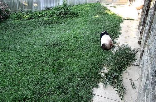 tt 20190722 a4  Tian lying face down on grass