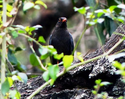 Indian blackbird - Male - Western Ghats