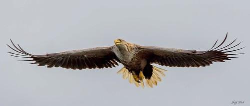 JWL9970  Sea Eagle..