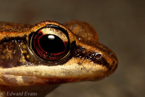 Latouche's frog (Hylarana latouchii)