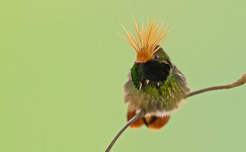 Lophornis delattrei - Rufous-crested Coquette - Coqueta Crestirrufa - Coqueta Crestada 14