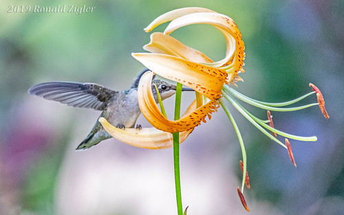 Peek-a-boo percher (juvenile Ruby-throat Hummingbird) IMG_6664