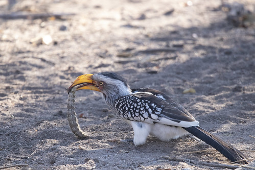 a lucky Southern Yellow-billed hornbill beats a caterpillar to death. Elephant Plains Game Lodge, Sabi Sand Game Reserve, Kruger National Park, South Africa
