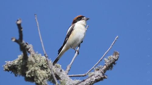 Picanço-barreteiro - Lanius senator - Woodchat Shrike