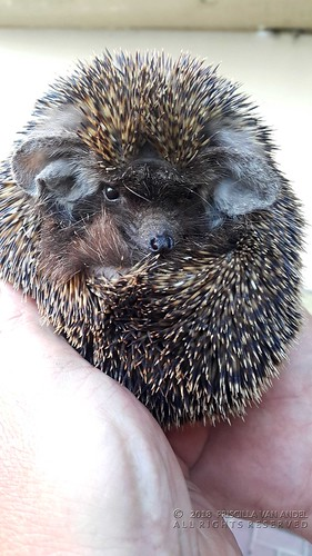2018-03-22 17.53.47W Ethiopian hedgehog - Paraechinus aethiopicus