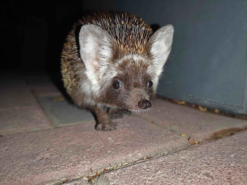2019-06-18 19.49.55W Ethiopian hedgehog - Paraechinus aethiopicus