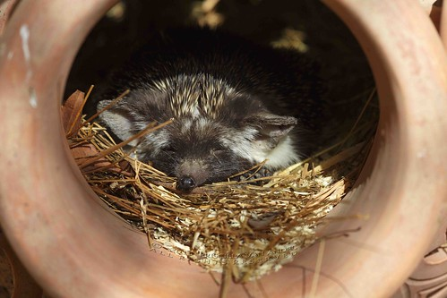 319A2570W Ethiopian hedgehog - Paraechinus aethiopicus baby