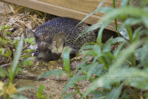 319A9579W Ethiopian hedgehog - Paraechinus aethiopicus