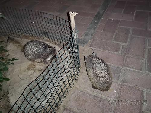 Houdini en Copperfield the Ethiopian hedgehogs - Paraechinus aethiopicus