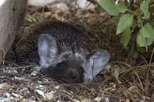 PVA_1639W Ethiopian hedgehog - Paraechinus aethiopicus