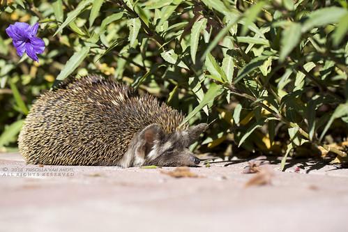 PVA_7660W Ethiopian hedgehog - Paraechinus aethiopicus