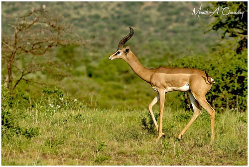 The Humble Gazelle!