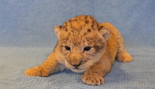 Simba da vida real: filhote serviu de modelo para o novo 'Rei Leão'