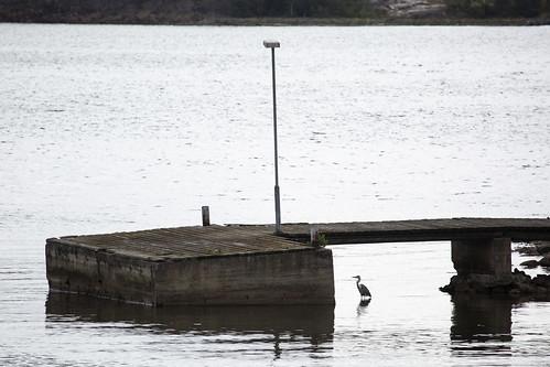 Wild grey heron in Hylkysaari
