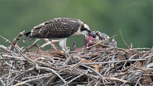 Osprey Feast