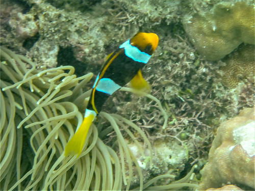 Amphiprion clarkii (Yellowtail Clownfish)