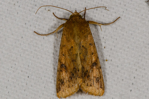 Corn Earworm Moth