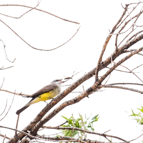 Western Kingbird and snack