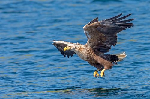 JWL0771  White tailed Eagle...
