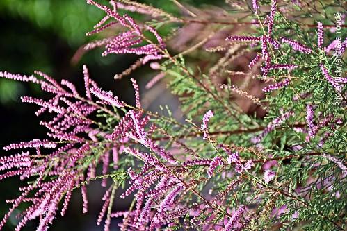 Flores de tamarisco