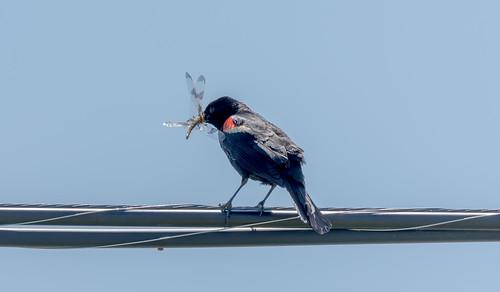 Red-winged Blackbird (Carouge à épaulettes)