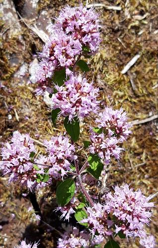 Origan commun (Origanum vulgare)