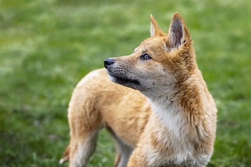 Dingo Discovery Centre 2019-08-04 (5D4_3005)