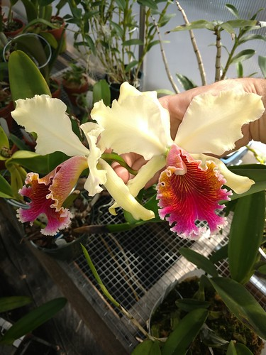 Cattleya Triumphans (C. Rex 'imperial' x C. Dowiana (select)  an absolute stunner.  My most prized orchid that I own!