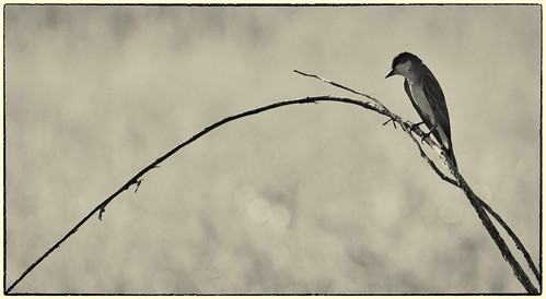 Kingbird In Black And White