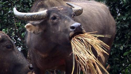 Vietnam - Sapa - Mountain Trek - Ta Van Village -  Water Buffalo - 144