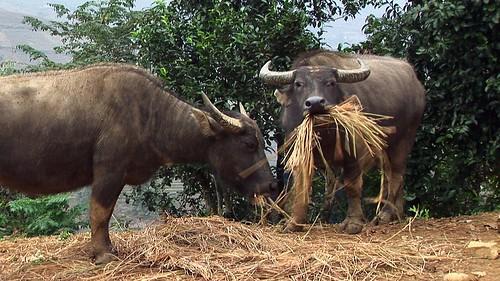 Vietnam - Sapa - Mountain Trek - Ta Van Village -  Water Buffalo - 142