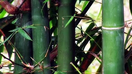 Vietnam - Sapa - Mountain Trek - Ta Van Village - Bamboo - 198