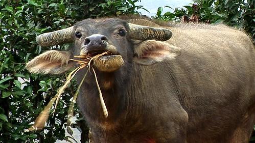 Vietnam - Sapa - Mountain Trek - Ta Van Village -  Water Buffalo - 141