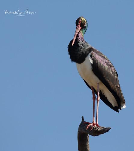 Stork Black