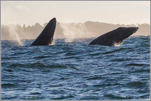 Breaching Humpbacks 1053
