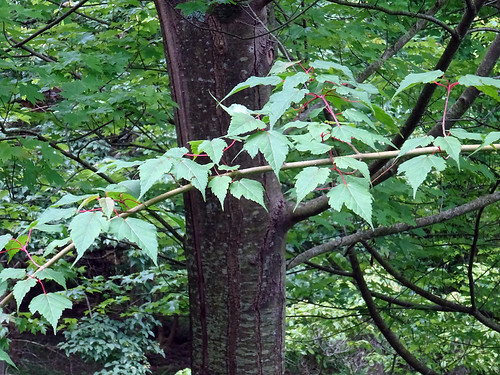 Acer stachyophyllum Hiern 1875 (SAPINDACEAE) ssp. stachyophyllum.