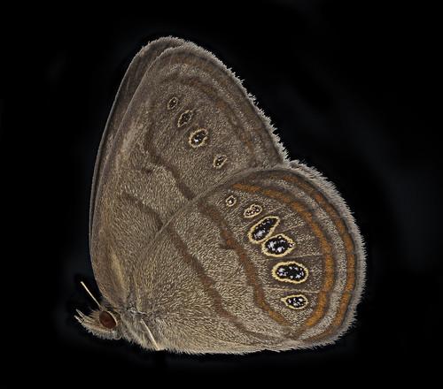 Neonympha mitchelli francisci, side, reared_2019-08-07-17.24.00 ZS PMax UDR