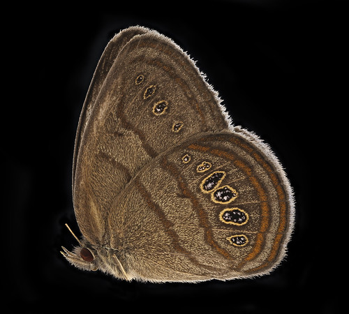 Neonympha mitchelli francisci, side, reared2_2019-08-07-17.21.31 ZS PMax UDR