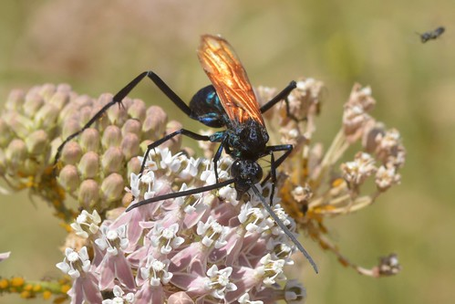 Tarantula Hawk (Pepsis) on Narrow-leaved Milkweed