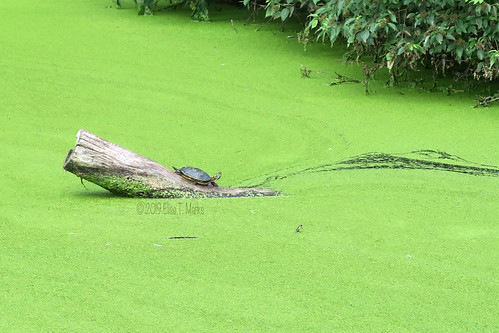 Painted Turtle On A Duckweed Filled Pond