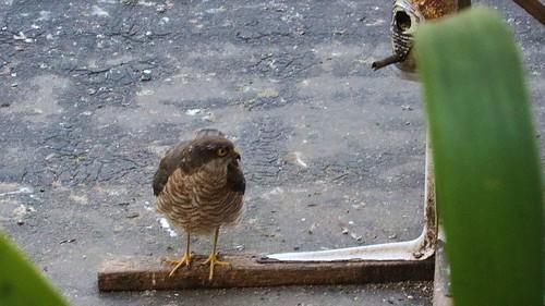 Sparrowhawk, 08082019, 02 f